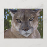 Cougar Pounce Postcard
