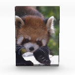 Prowling Red Panda Award