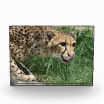 Sleek Cheetah Cat on a Rock Acrylic Award