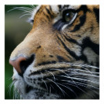 Tiger Picture Poster